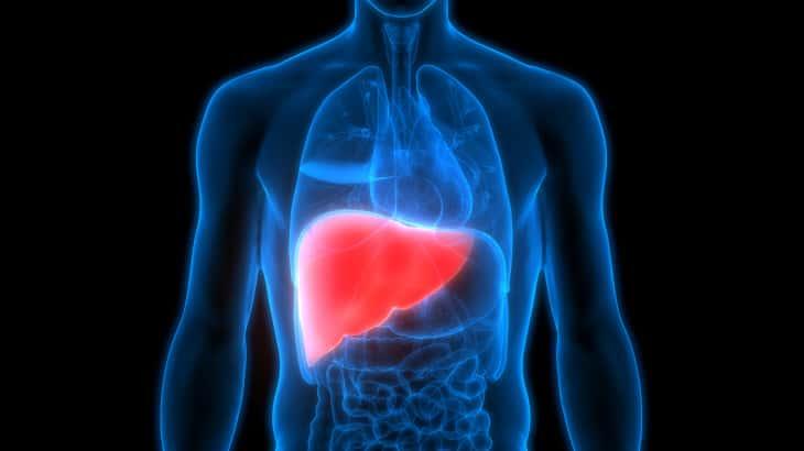 3D Illustration of Human Body Organs Anatomy (Liver)